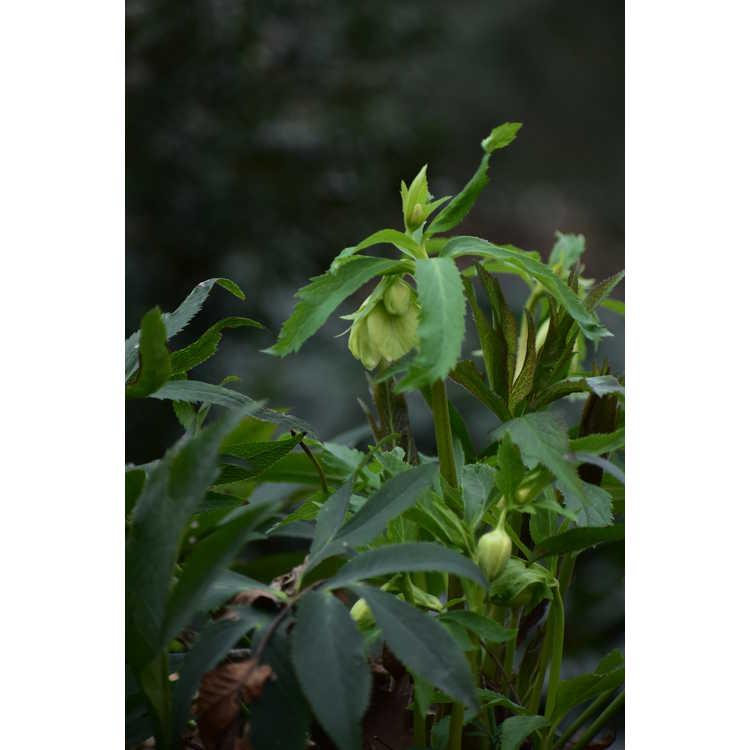 Helleborus liguricus