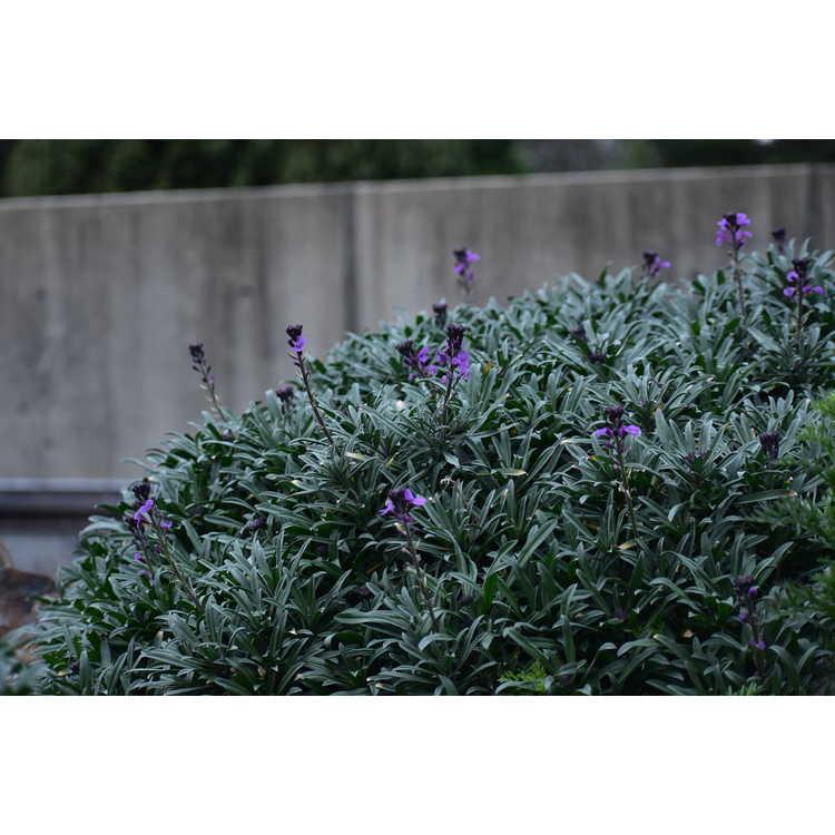 Erysimum linifolium 'Bowles Mauve' - alpine wallflower