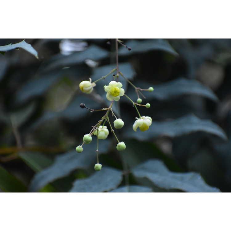 Mahonia ilicina
