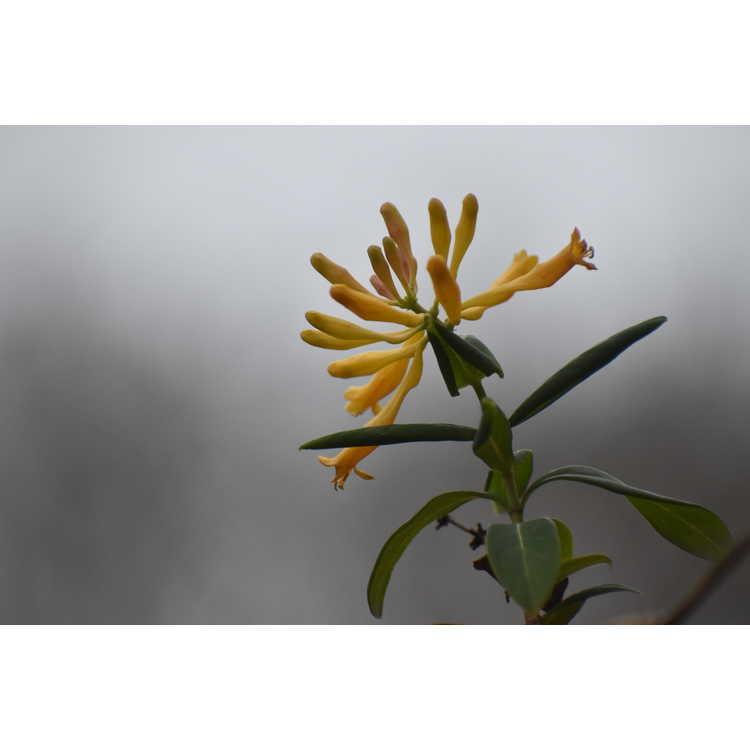 Lonicera sempervirens 'John Clayton' - yellow trumpet honeysuckle