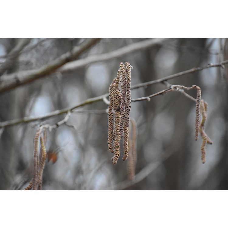 Corylus chinensis