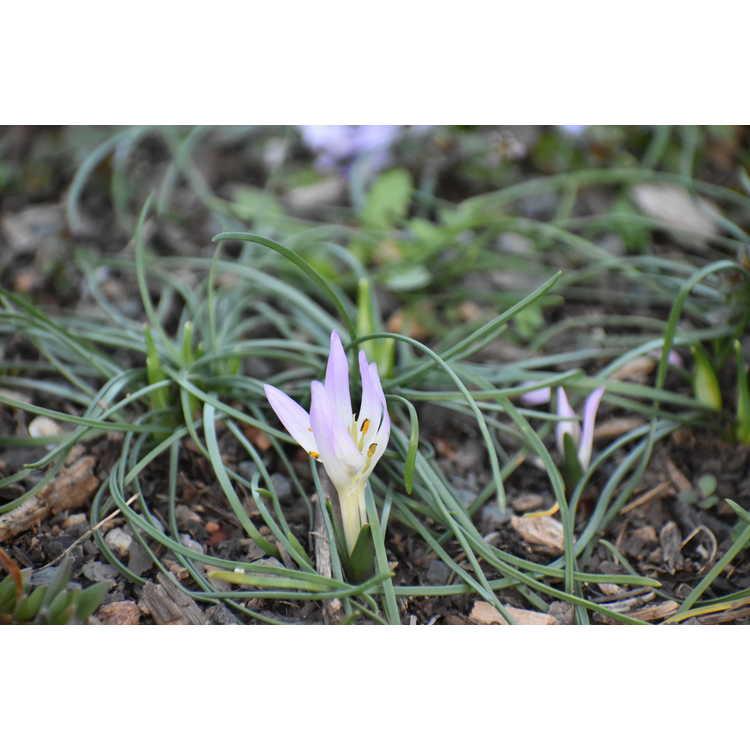 Colchicum soboliferum