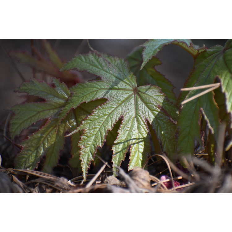 Begonia pedatifida - hardy foot begonia