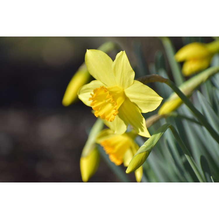 Narcissus Border Legend
