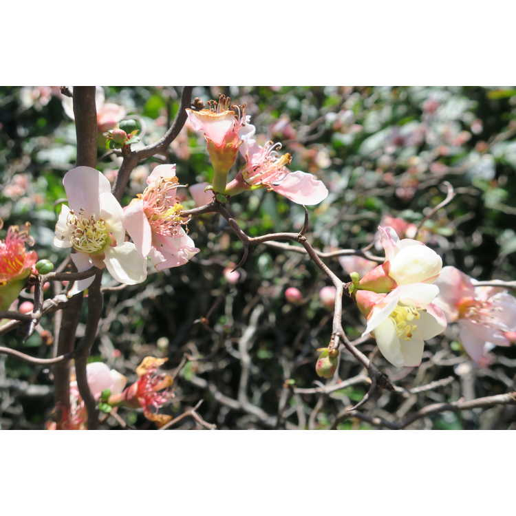 Chaenomeles speciosa 'Contorta' - contorted flowering quince