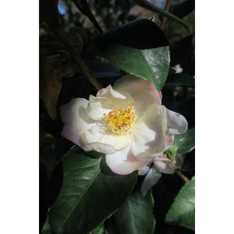 Camellia 'Yoimachi'