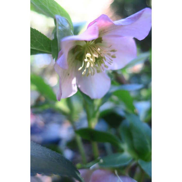 Helleborus ×hybridus 'Pamina' - apricot Lenten rose