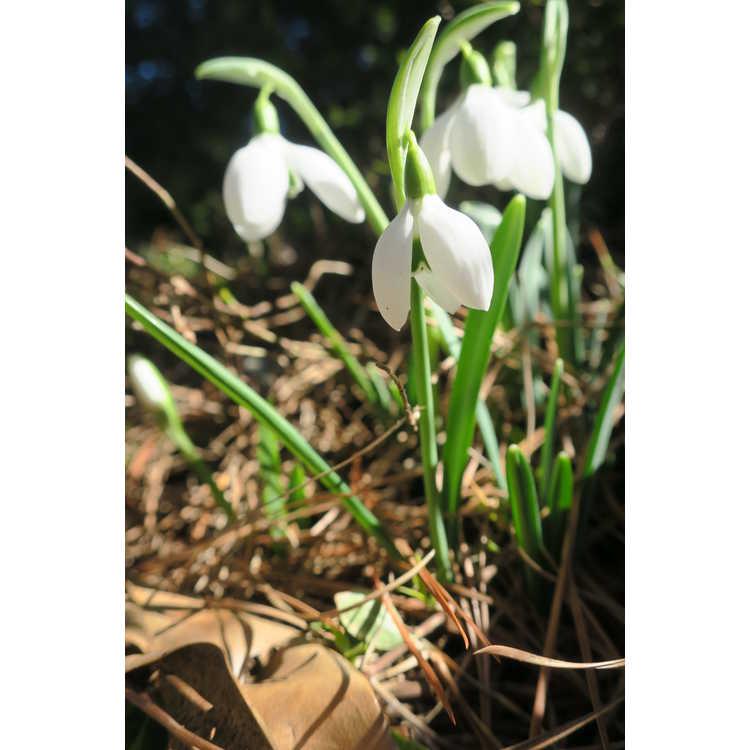 Galanthus 'Bertram Anderson' - snowdrop