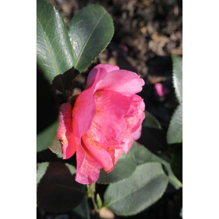 Camellia ×hiemalis 'Shishi Gashira'