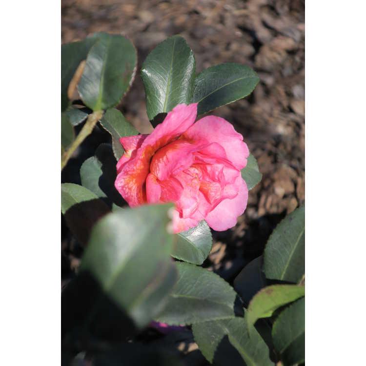Camellia hiemalis Shishi Gashira