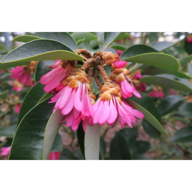 Rhodoleia henryi 'Takeshitasei'