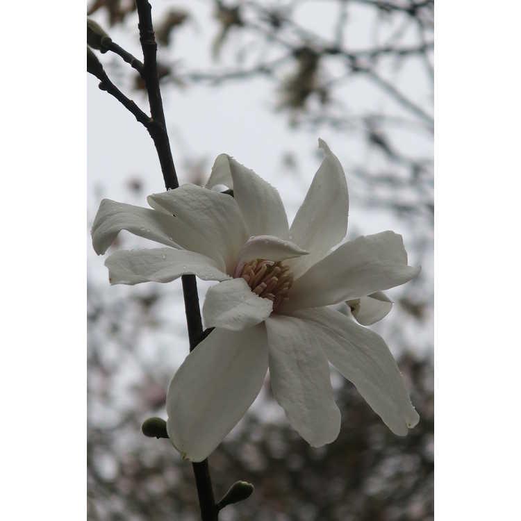 Magnolia Green Mist