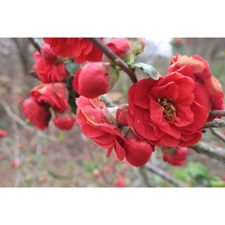 Chaenomeles Dragons Blood