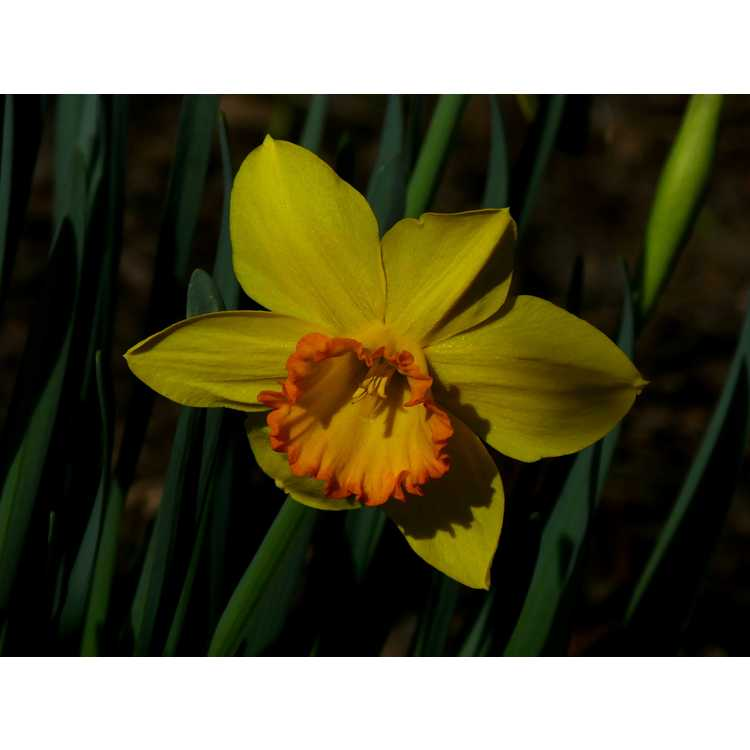 Narcissus 'Border Legend' - large cupped daffodil