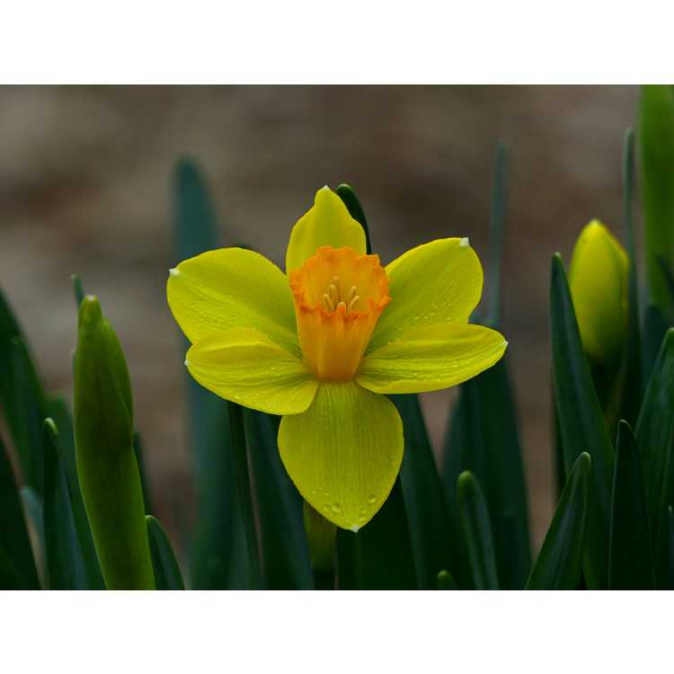 Narcissus 'Court Martial' - large-cupped daffodil