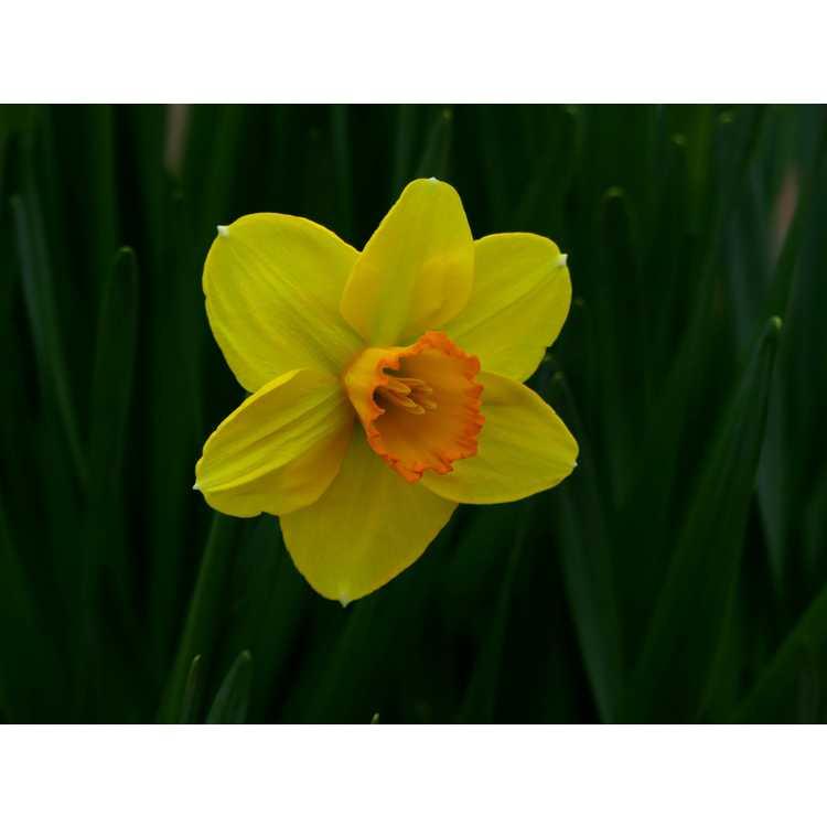 Narcissus 'Court Martial'