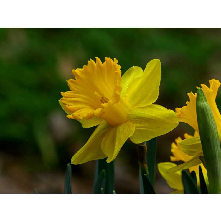 Narcissus Kassels Gold