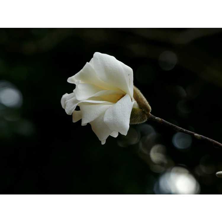 Magnolia stellata Scented Silver