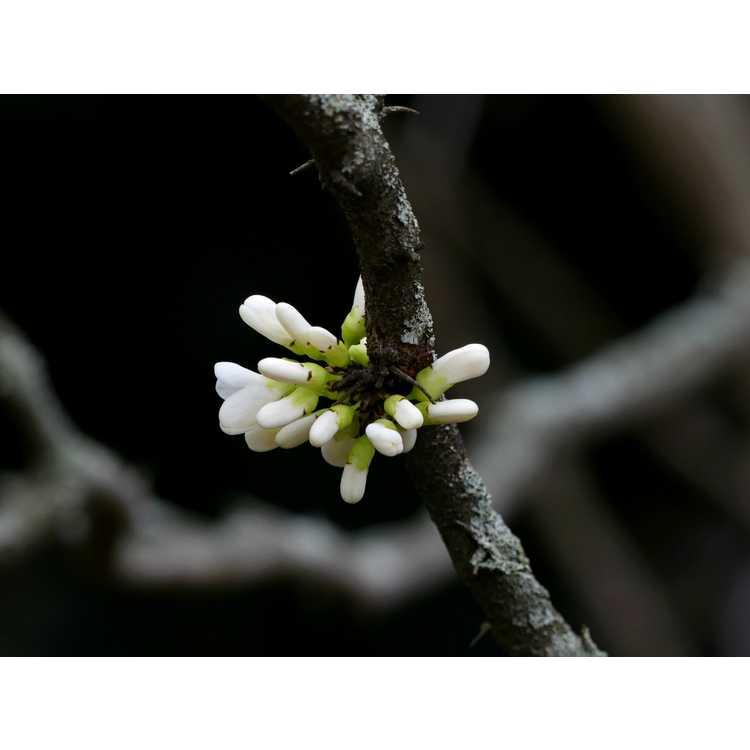 Cercis chinensis Shirobana
