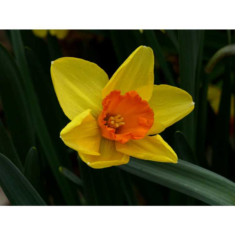 Narcissus 'Monal' - large-cupped daffodil