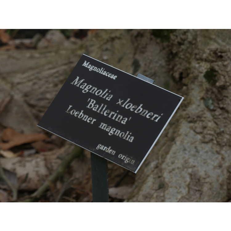 Magnolia ×loebneri 'Ballerina' - Loebner magnolia