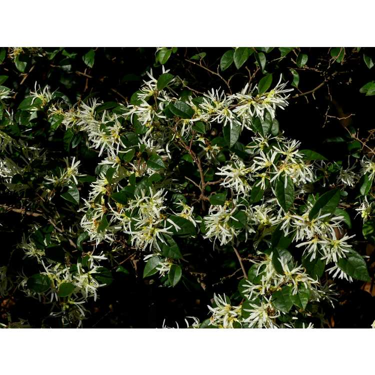 Loropetalum chinense NCI002 Carolina Moonlight