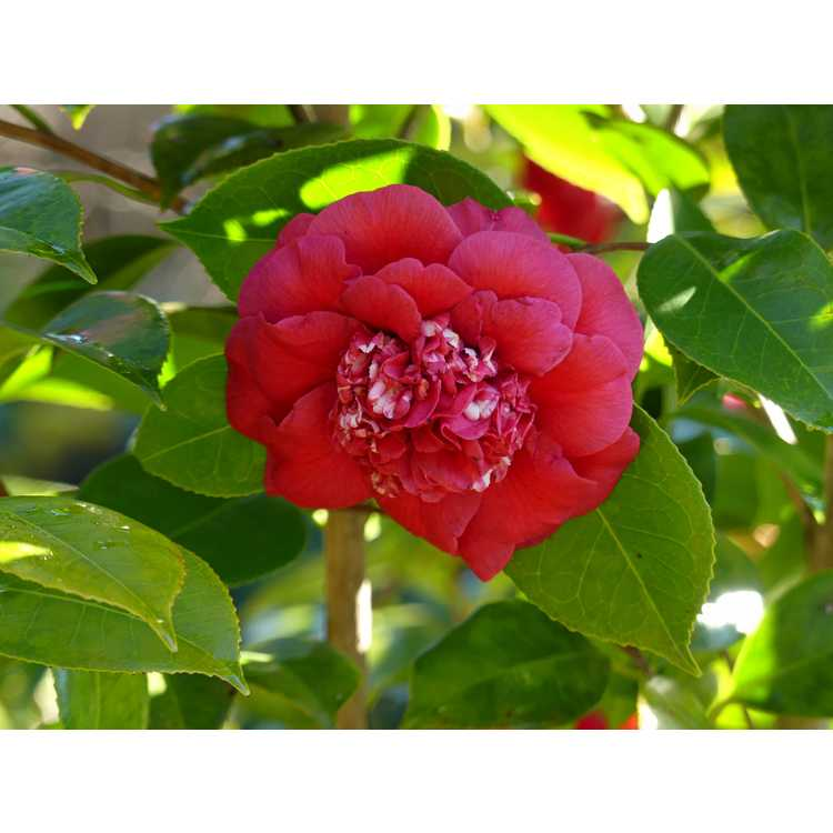 Camellia japonica 'April Tryst' - Japanese camellia