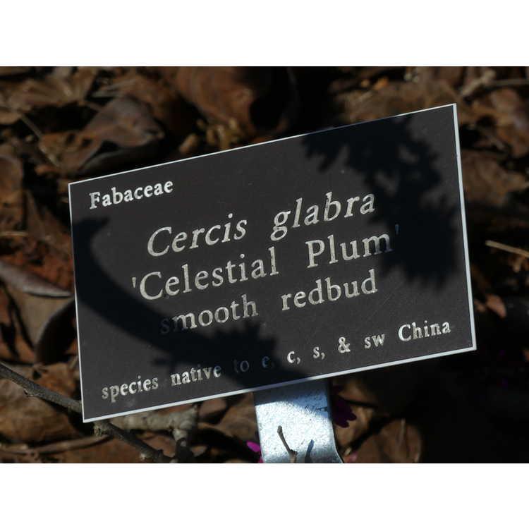 Cercis glabra 'Celestial Plum' - smooth redbud