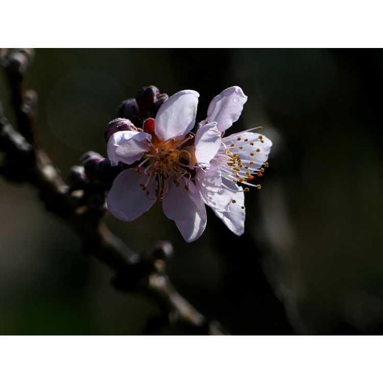 Prunus persica 'Bonfire' - purple-leaf peach