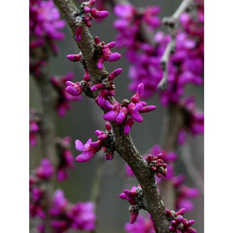 Cercis chinensis 'Don Egolf' - seedless Chinese redbud