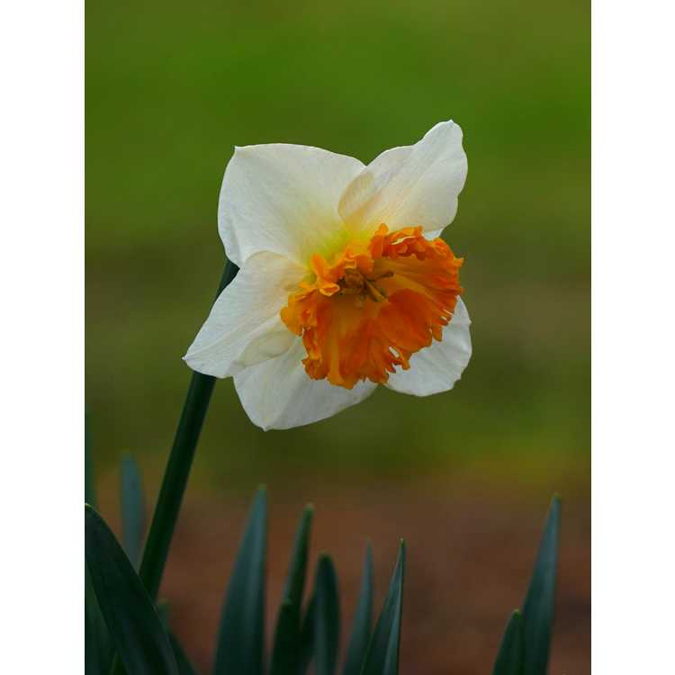 Narcissus Virginia Sunrise