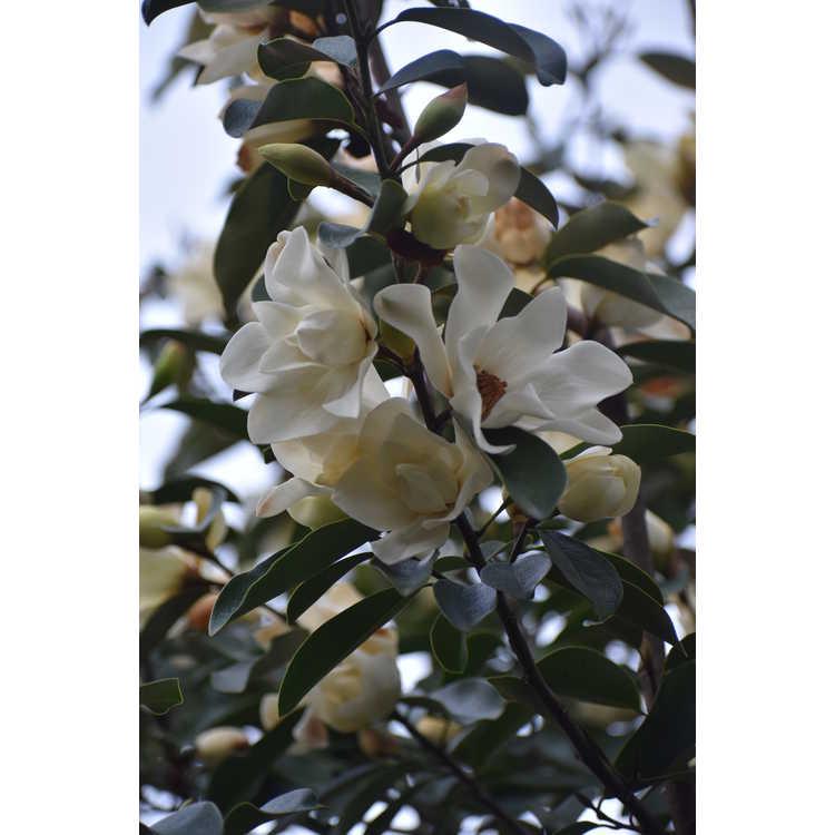 Magnolia Eternal Spring