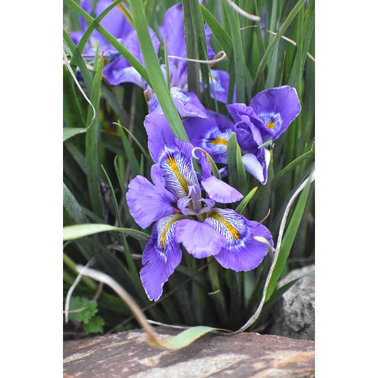 Iris unguicularis Dazzling Eyes