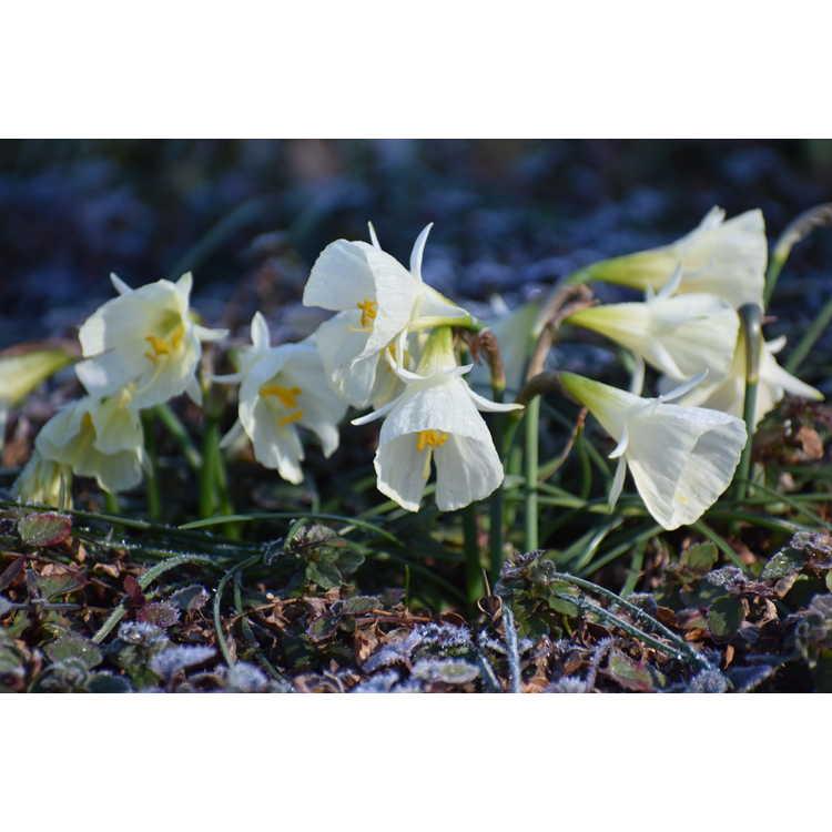 Narcissus 'White Petticoat'