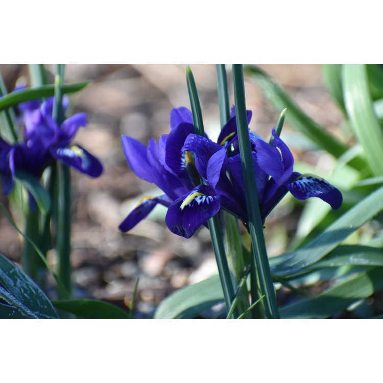 Iris [Reticulata Group] 'Pixie' - netted iris