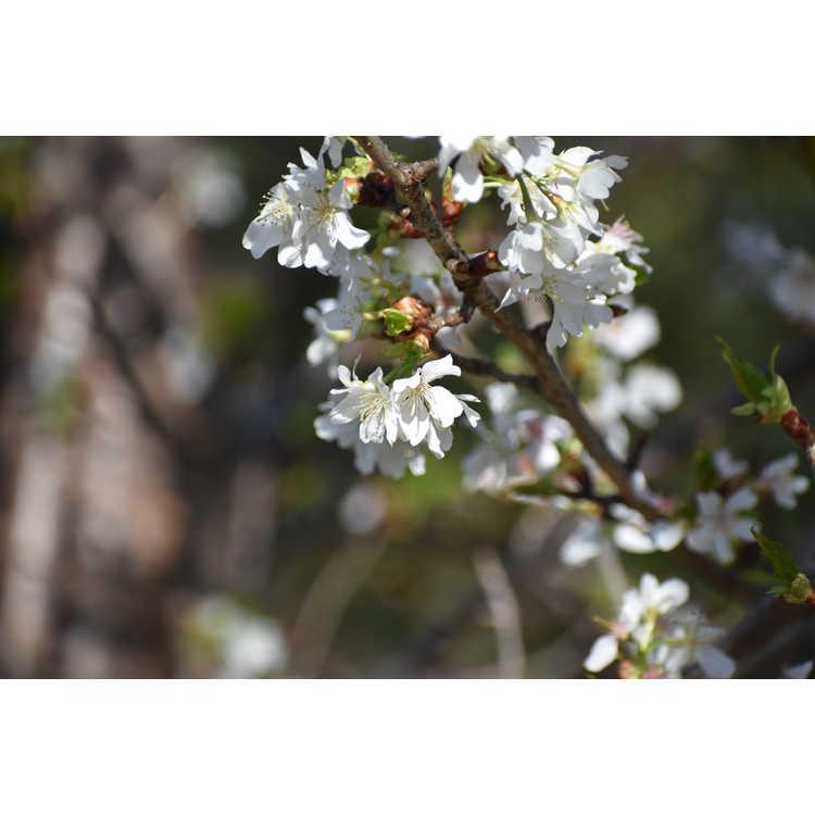 Prunus takesimensis
