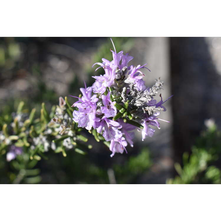 Rosmarinus officinalis Majorca Pink