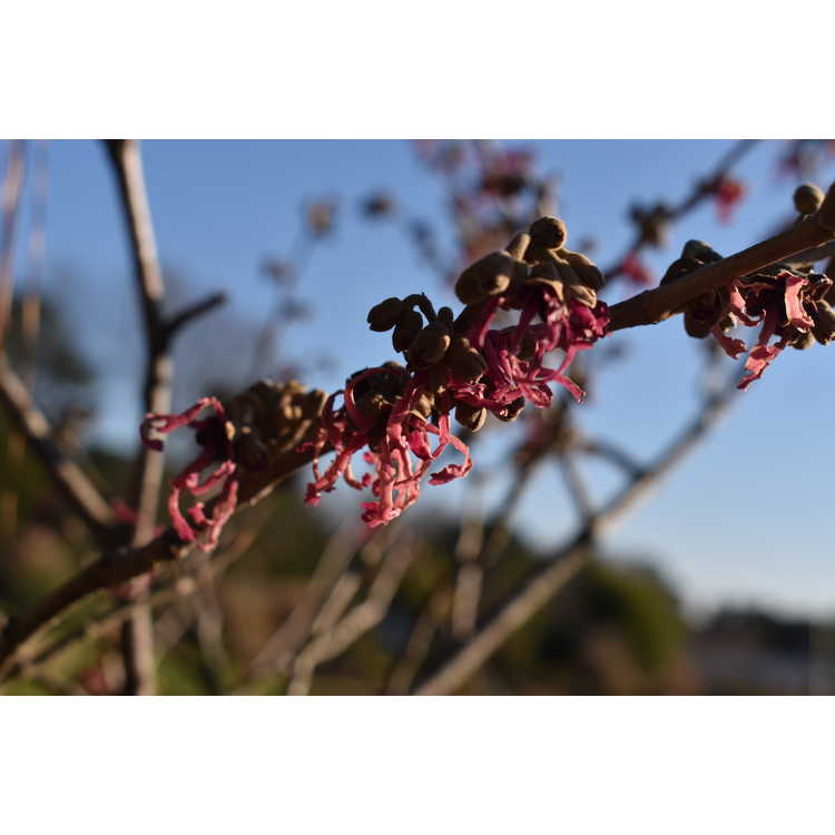 Hamamelis ×intermedia 'Rubinstar' - common witchhazel
