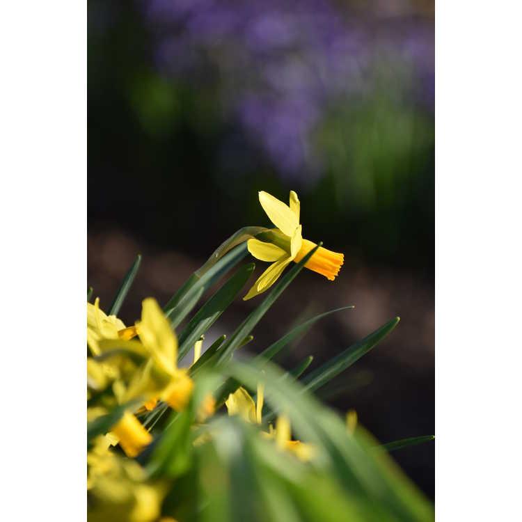 Narcissus 'Itzim'