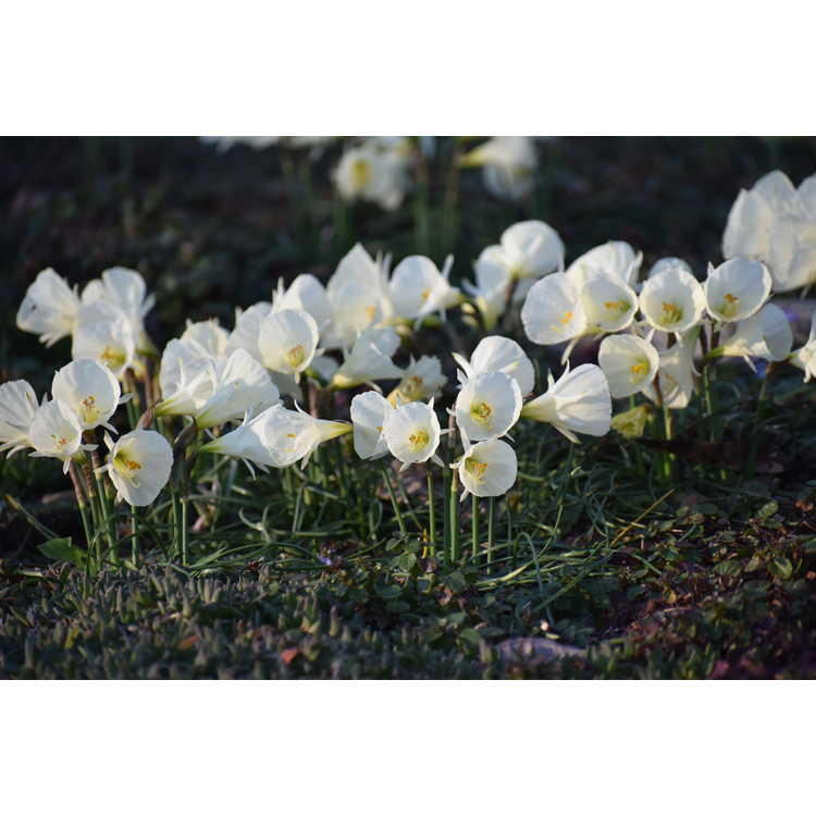 Narcissus White Petticoat
