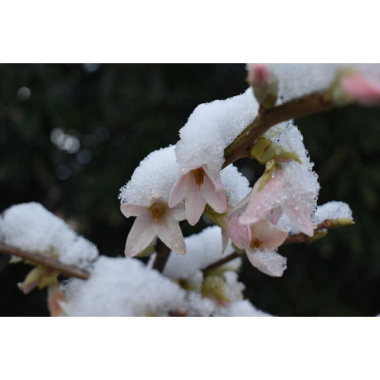 Melliodendron xylocarpum Suzuki Pink