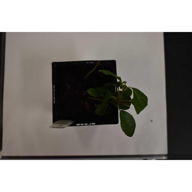 Ardisia japonica 'Izu Shinju' - marlberry