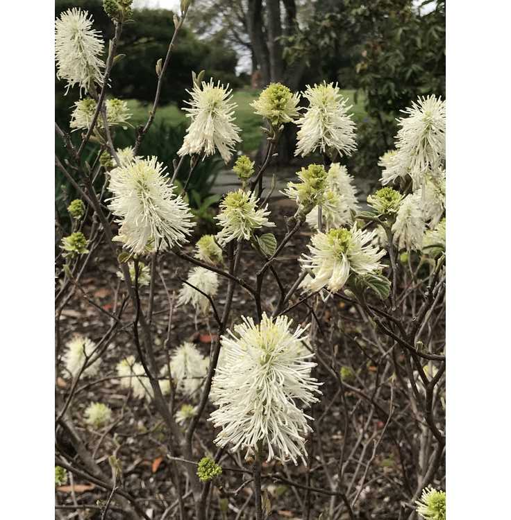 Fothergilla gardenii 'Suzanne' - dwarf fothergilla
