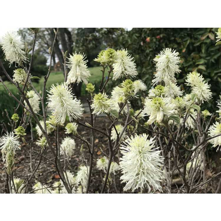 Fothergilla gardenii 'Suzanne'