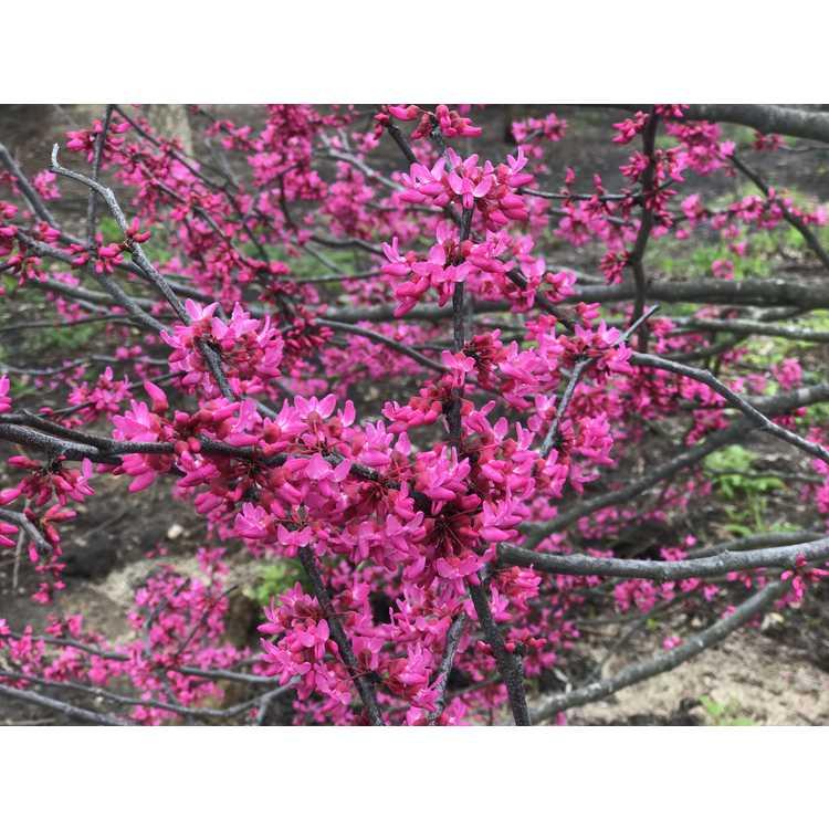 Cercis canadensis 'Appalachian Red' - eastern redbud