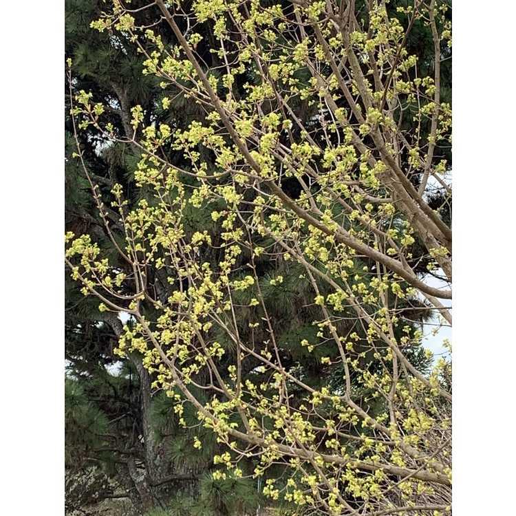 Acer truncatum 'Golden Dragon'