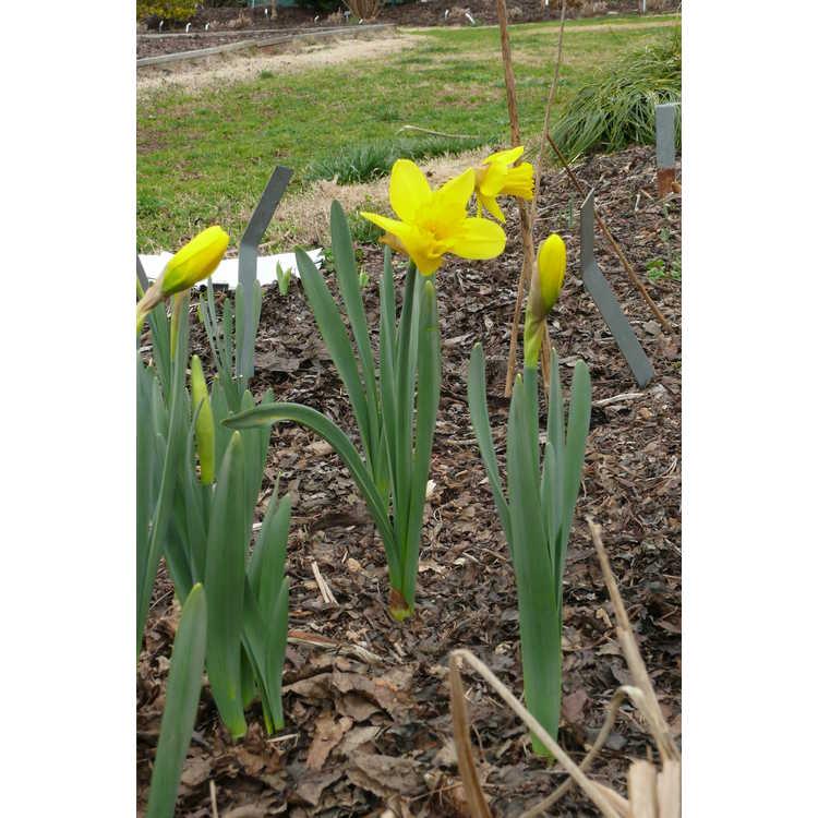 Narcissus 'Barenwyn'