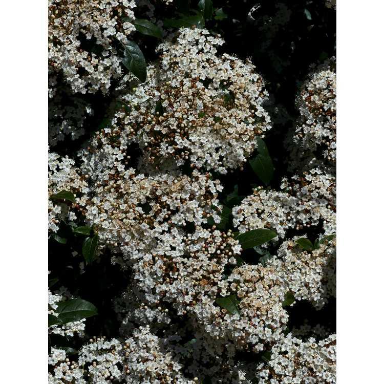 Viburnum tinus 'Compactum' - laurustinus