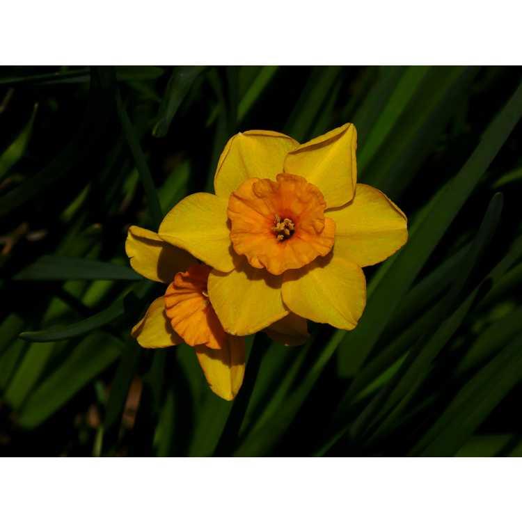 Narcissus 'Pappy George' - jonquilla daffodil