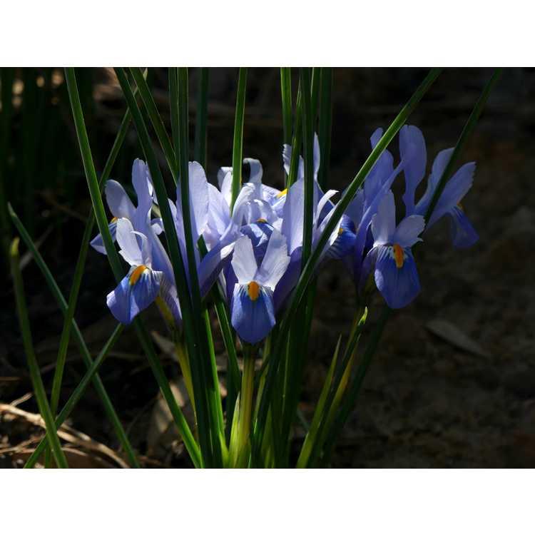 Iris [Reticulata Group] 'Cantab' - netted iris